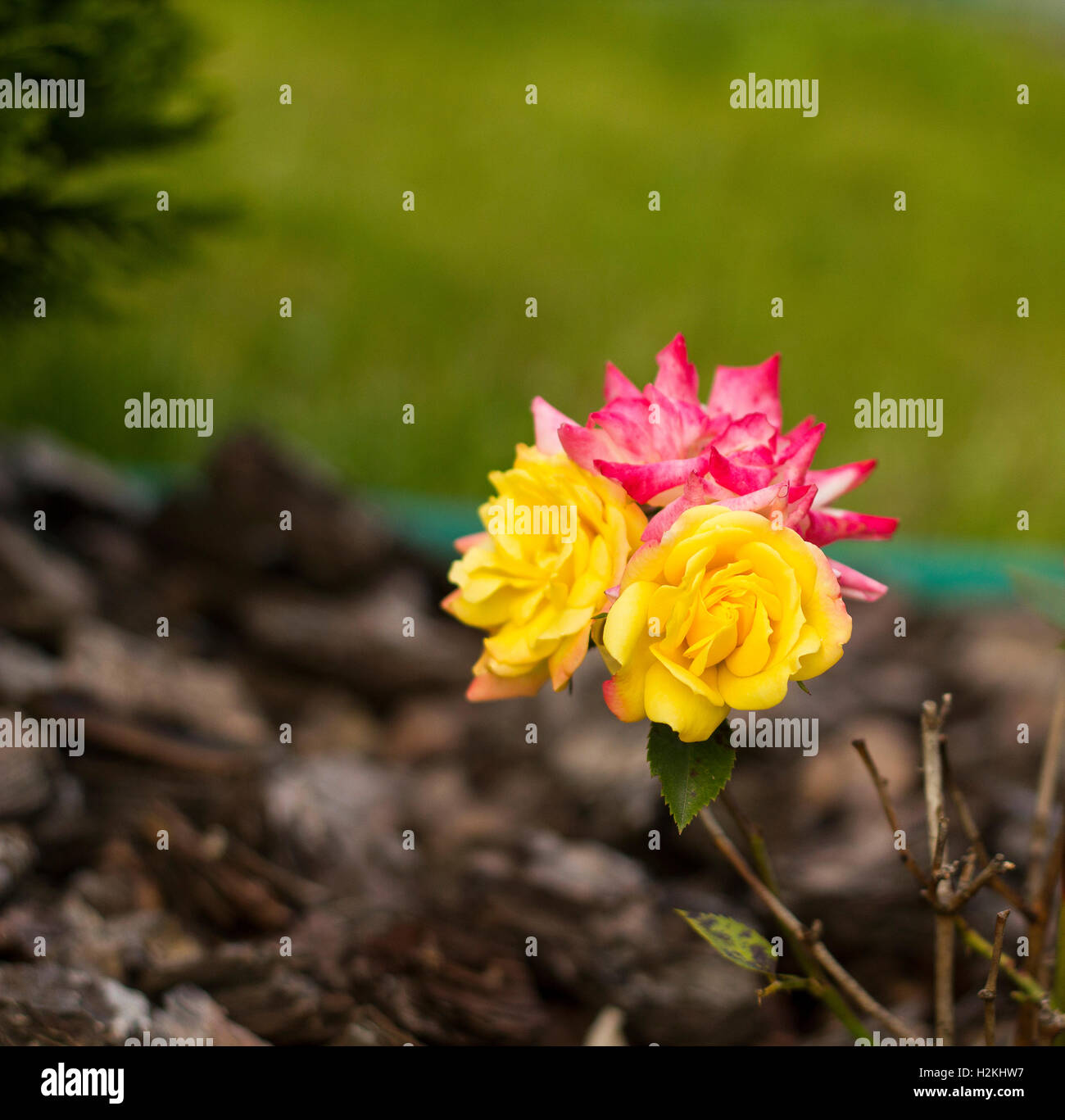 Small Pink And Yellow Bush Roses Flowers Multicolor Roses Flowers