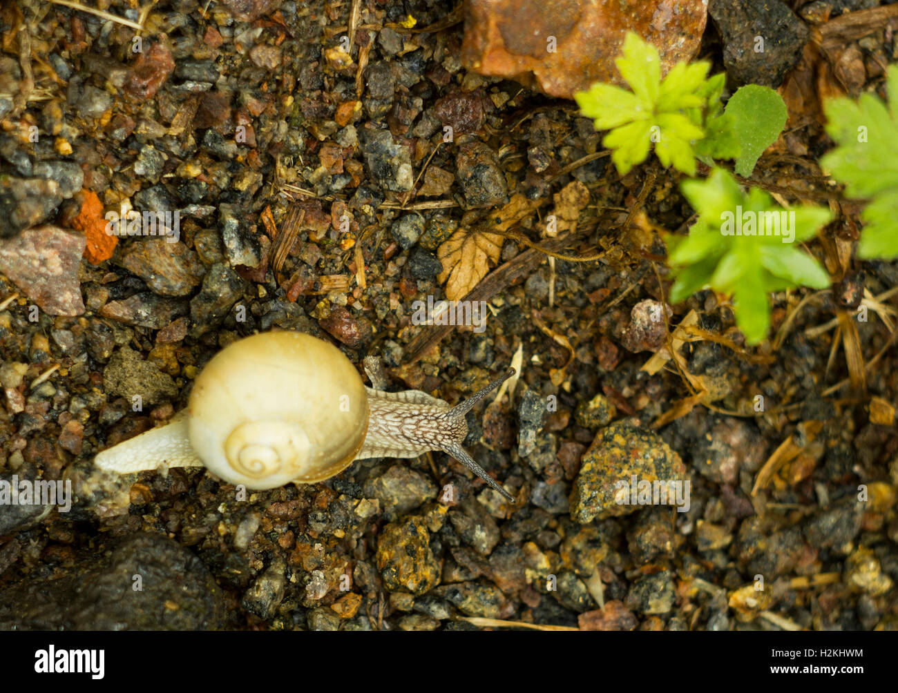 Snail in shell on road in summer, top view - Stock Image