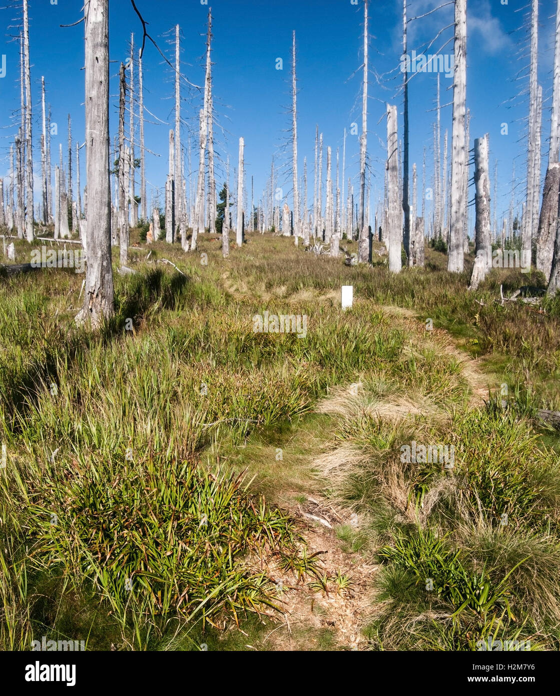 pathway on grass with forest devastated by bark beetle infestation and border stone on Blatny vrch in Sumava mountains - Stock Image