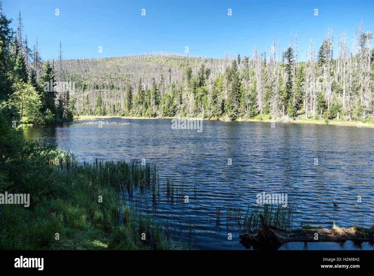 Laka mountain lake with clear sky and forest devastated by bark beetle infestation in Sumava mountains - Stock Image