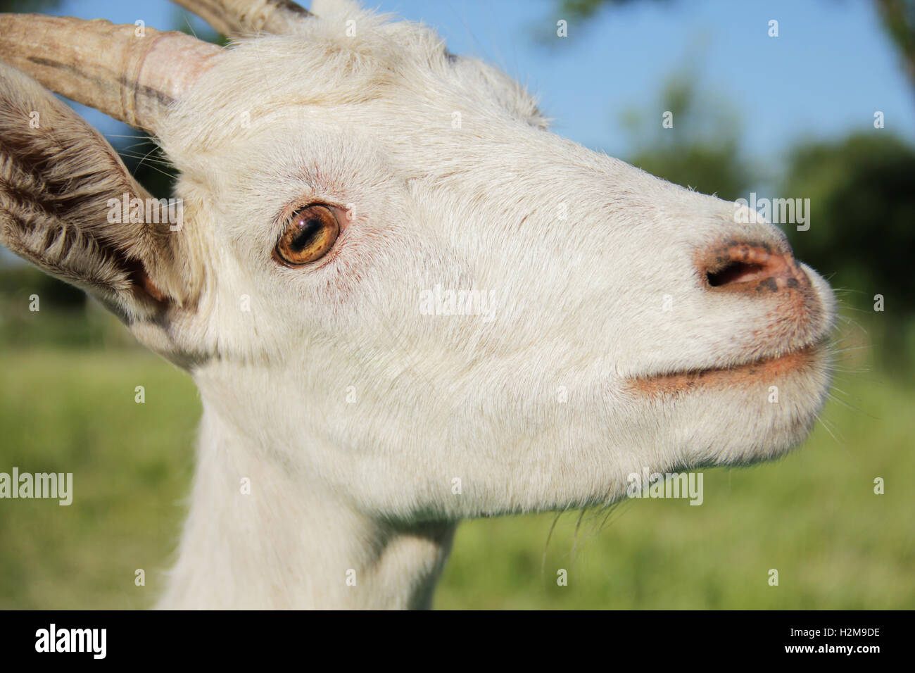 Funny white goat portrait close up photo - Stock Image