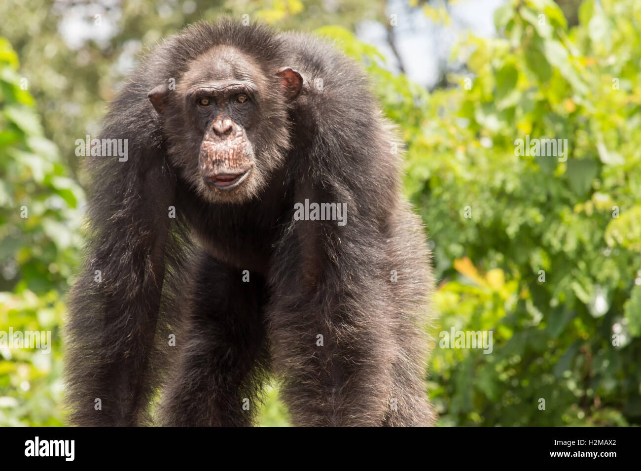 A large, old chimpanzee stands on Monkey Island in Liberia. - Stock Image