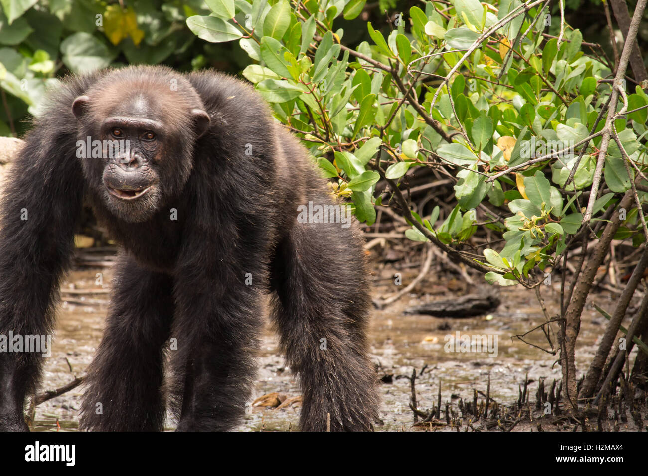 A chimpanzee stands in the mud at the waters edge on Monkey Island in Liberia. - Stock Image