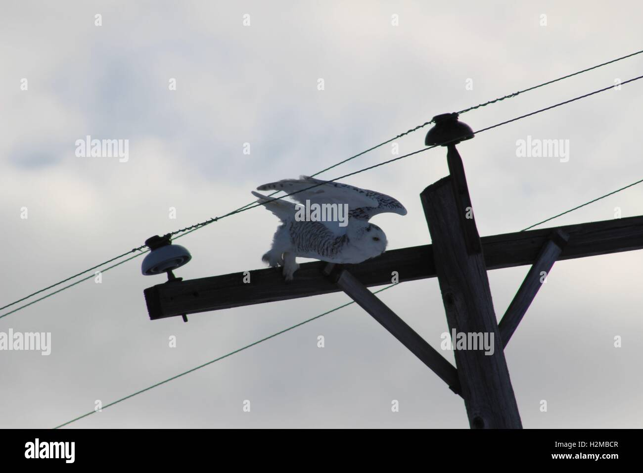 Snowy Owl Swooping Down From A Telephone Pole - Stock Image