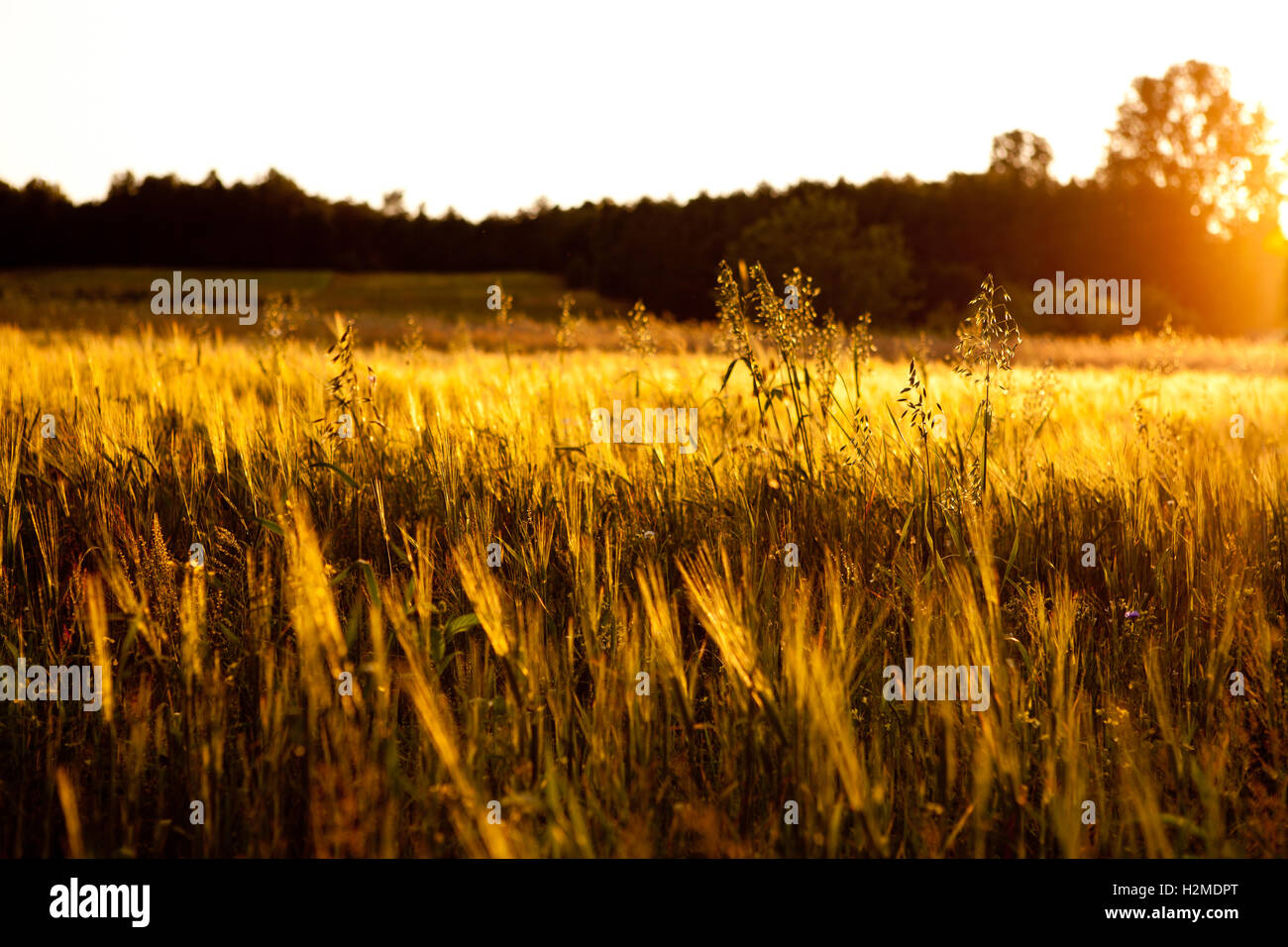 Oat field in Poland - Stock Image