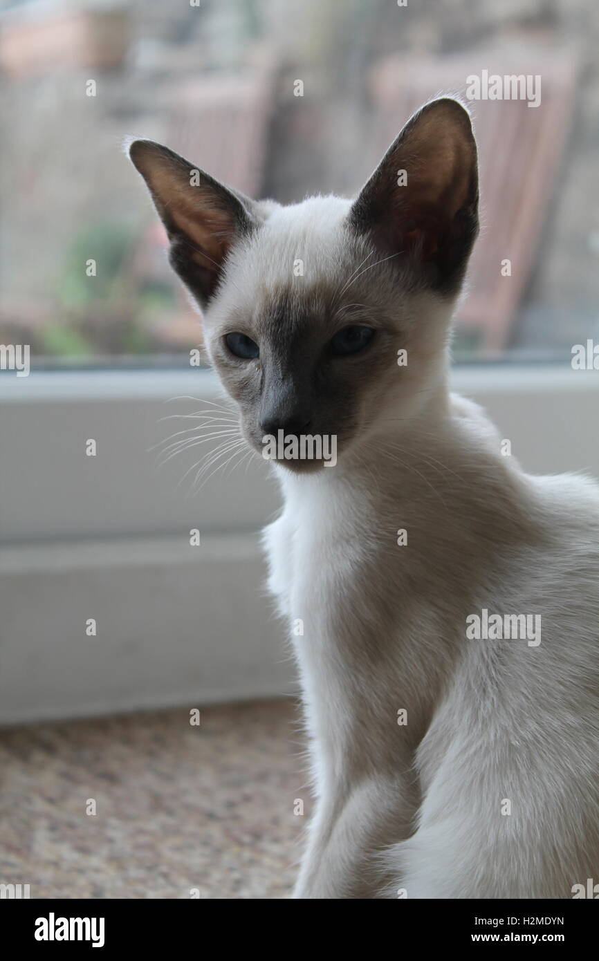 Siamese Kitten High Resolution Stock Photography And Images Alamy