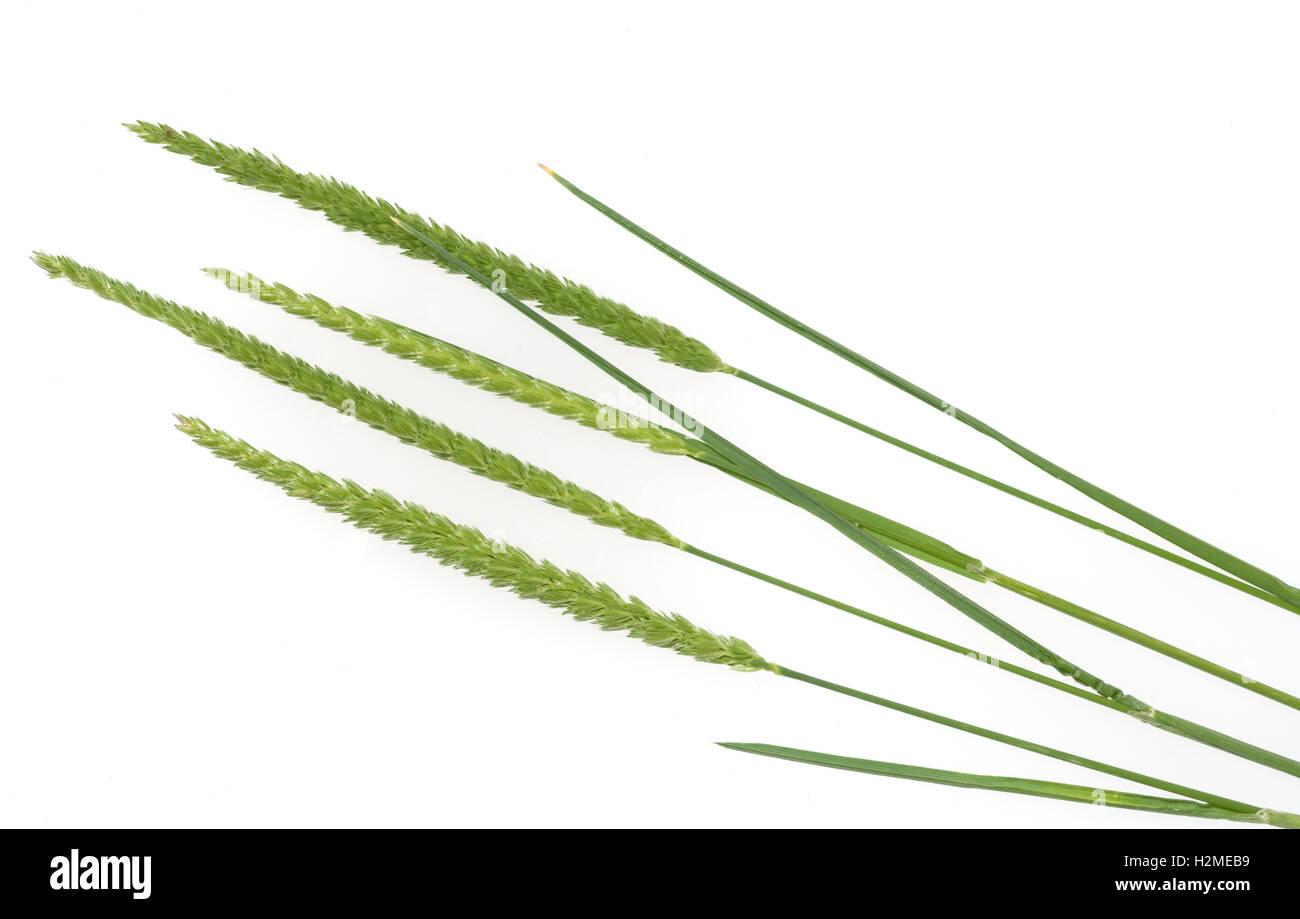 Wiesen-Kammgras, Kammgras, Cynosurus, cristatus Stock Photo