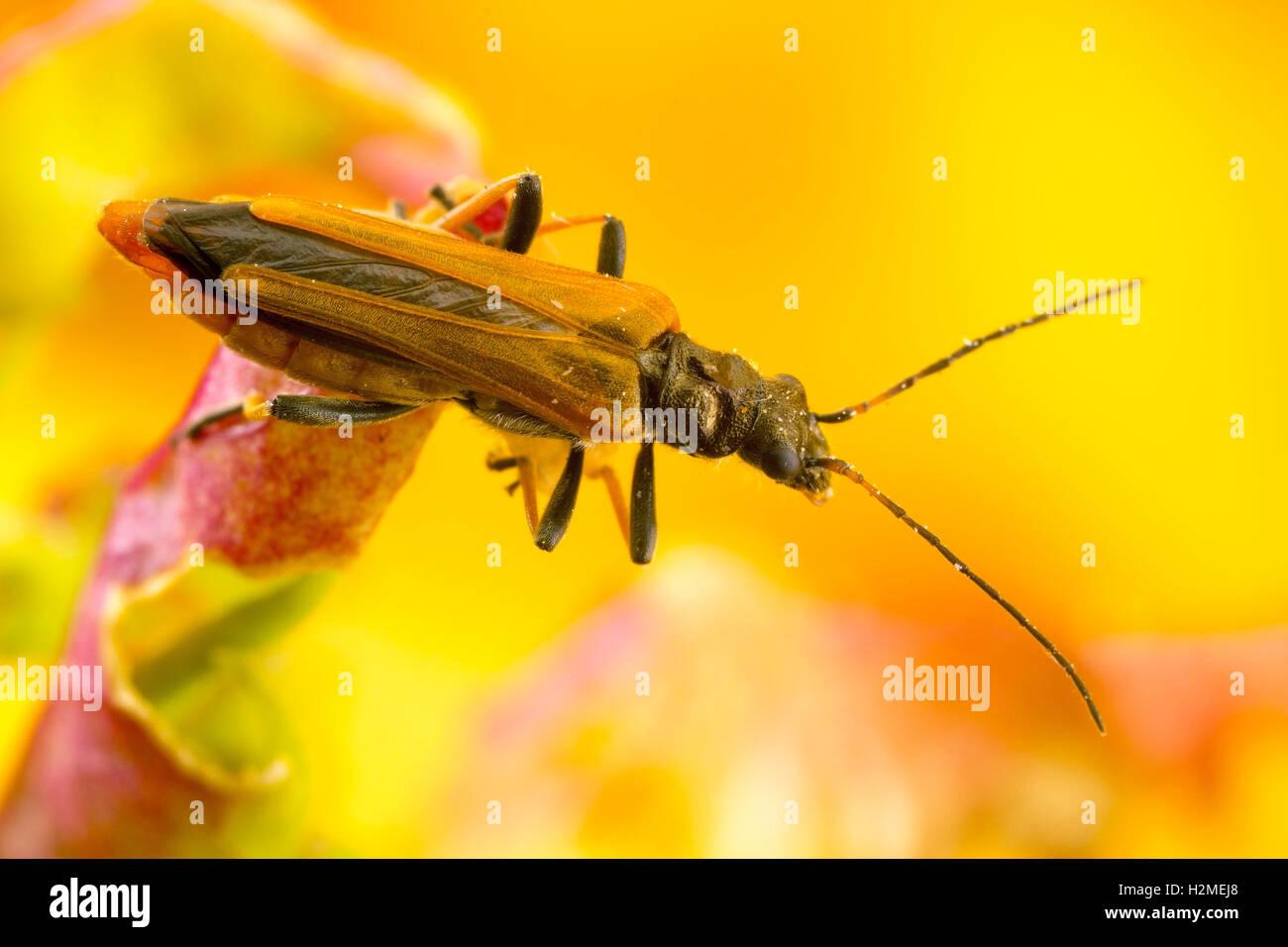 Tiny beetle on wild plants - Stock Image