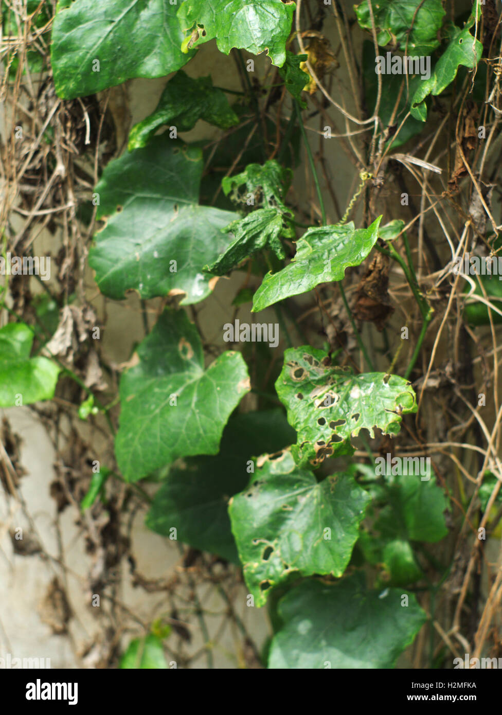 diseased and rotten Coccinia grandis,  scarlet gourd, or ivy gourd on concrete wall - Stock Image