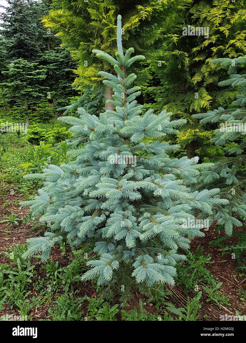 Blaufichte; Fichte; Picea; pungens; Stechfichte - Stock Image