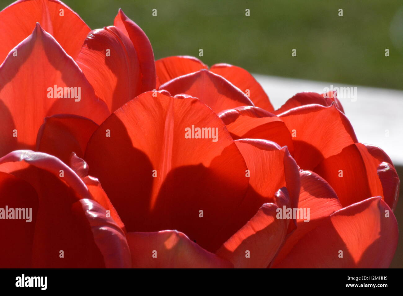Tulip petals lit by the sun - Stock Image