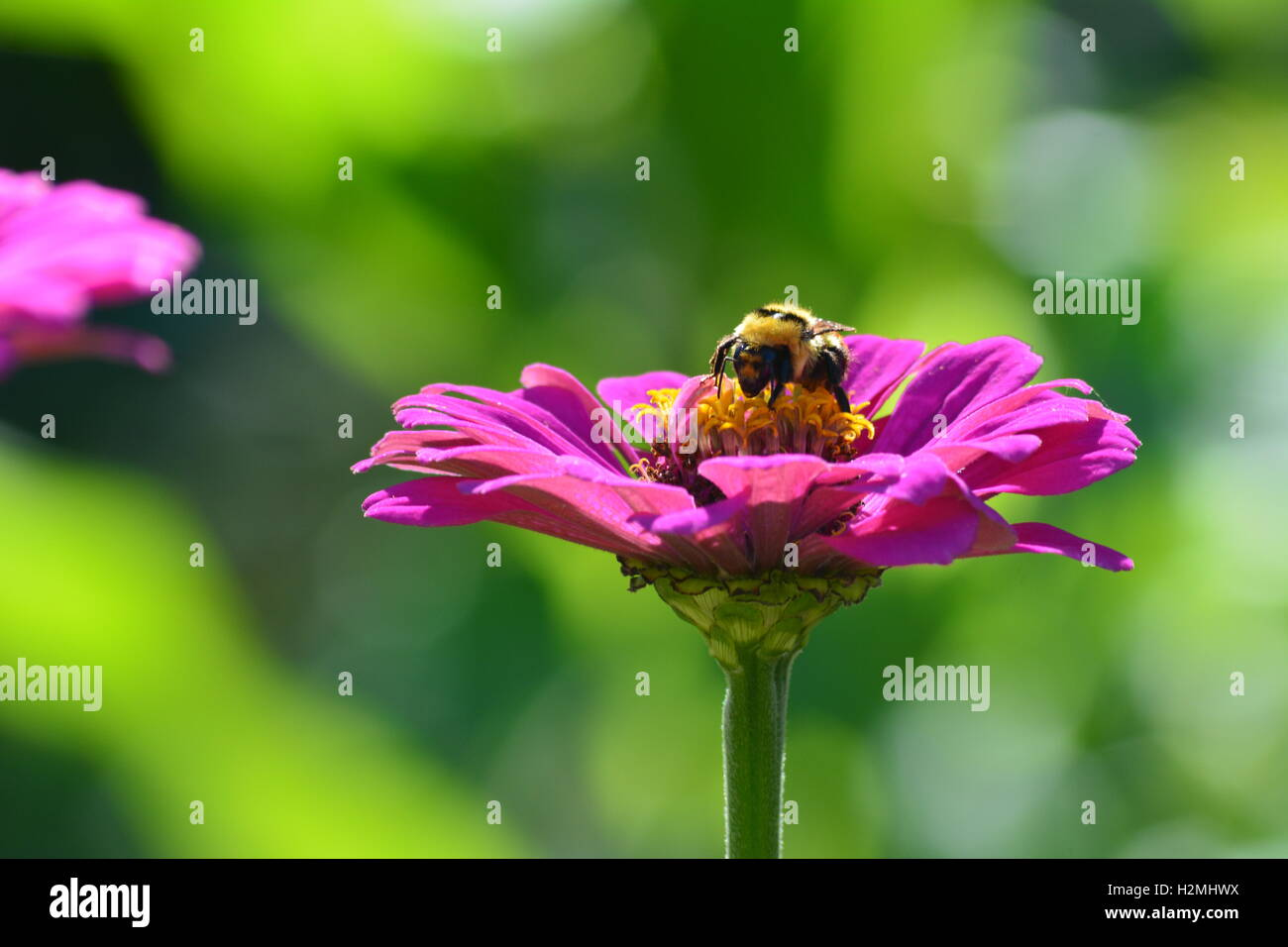 Bumblebee collecting pollen on a zinnia flower Stock Photo