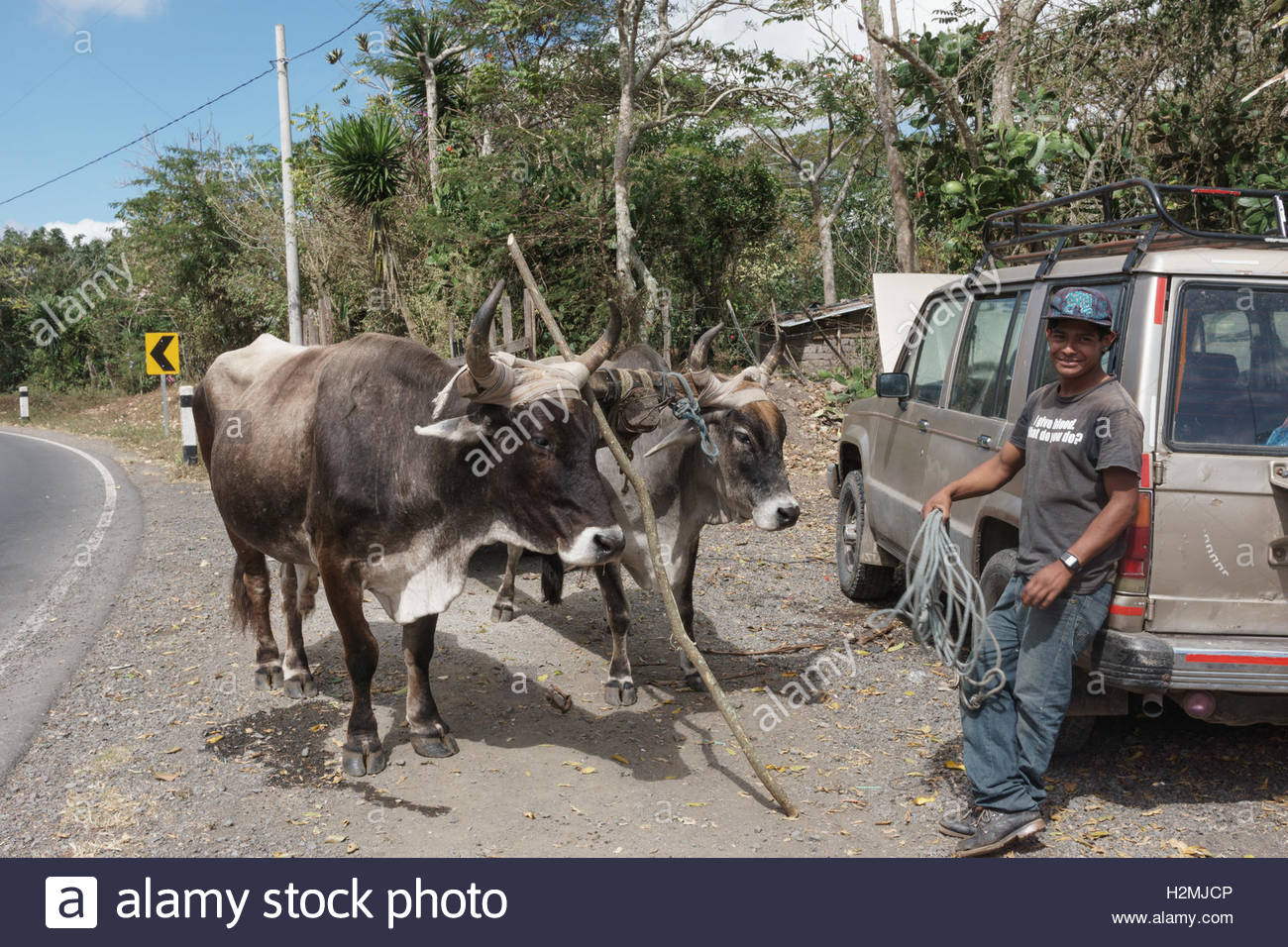 A yoke of oxen and their driver in Jinotega Department. - Stock Image