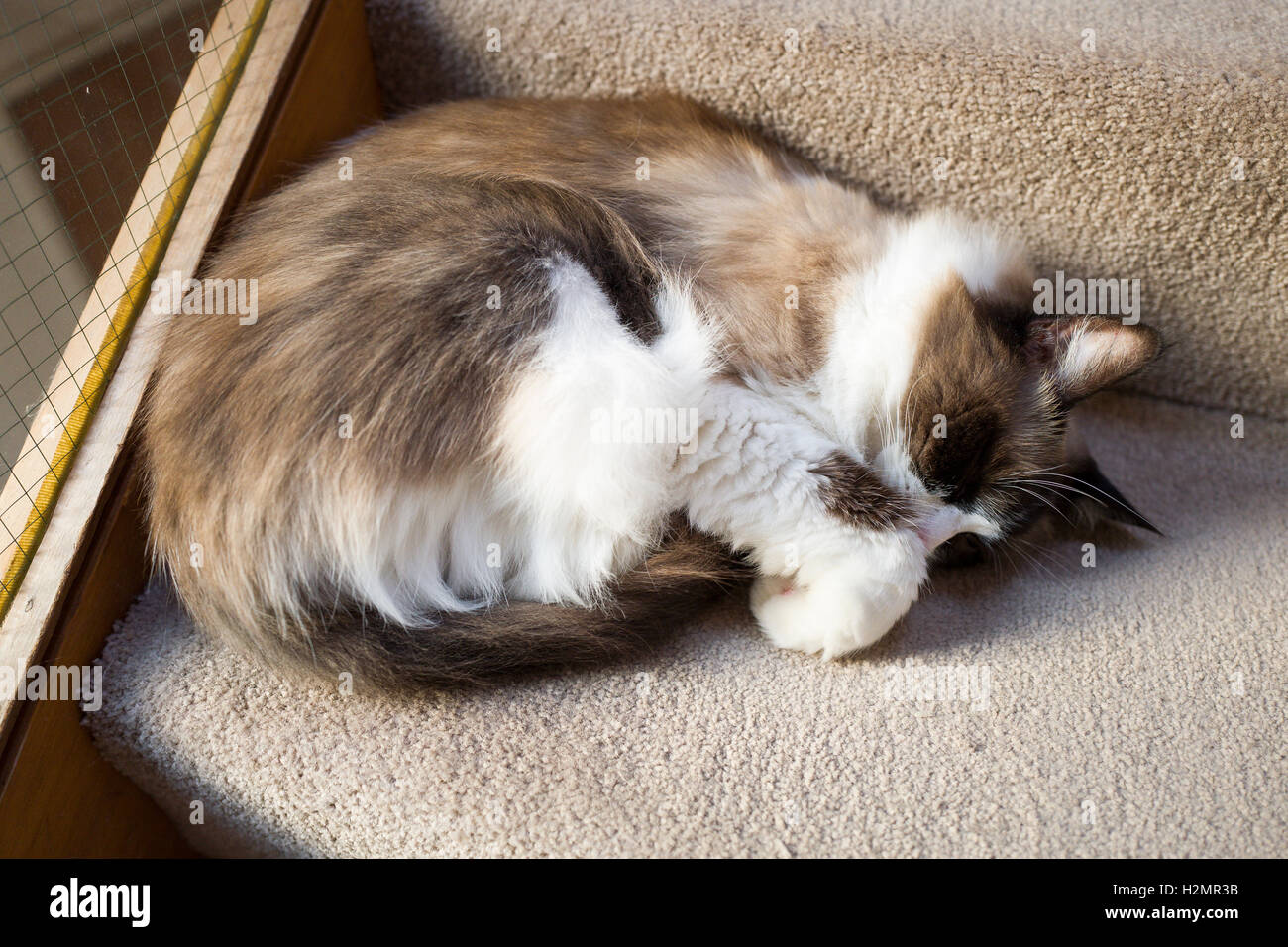 Ragdoll cat asleep on carpeted stairs - Stock Image