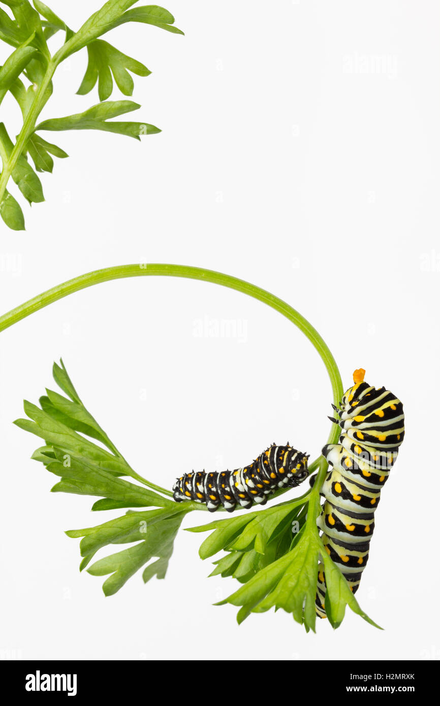 Two Black Swallowtail Butterfly larvae, one extending its osmeteria horns, eating parsley. Stock Photo