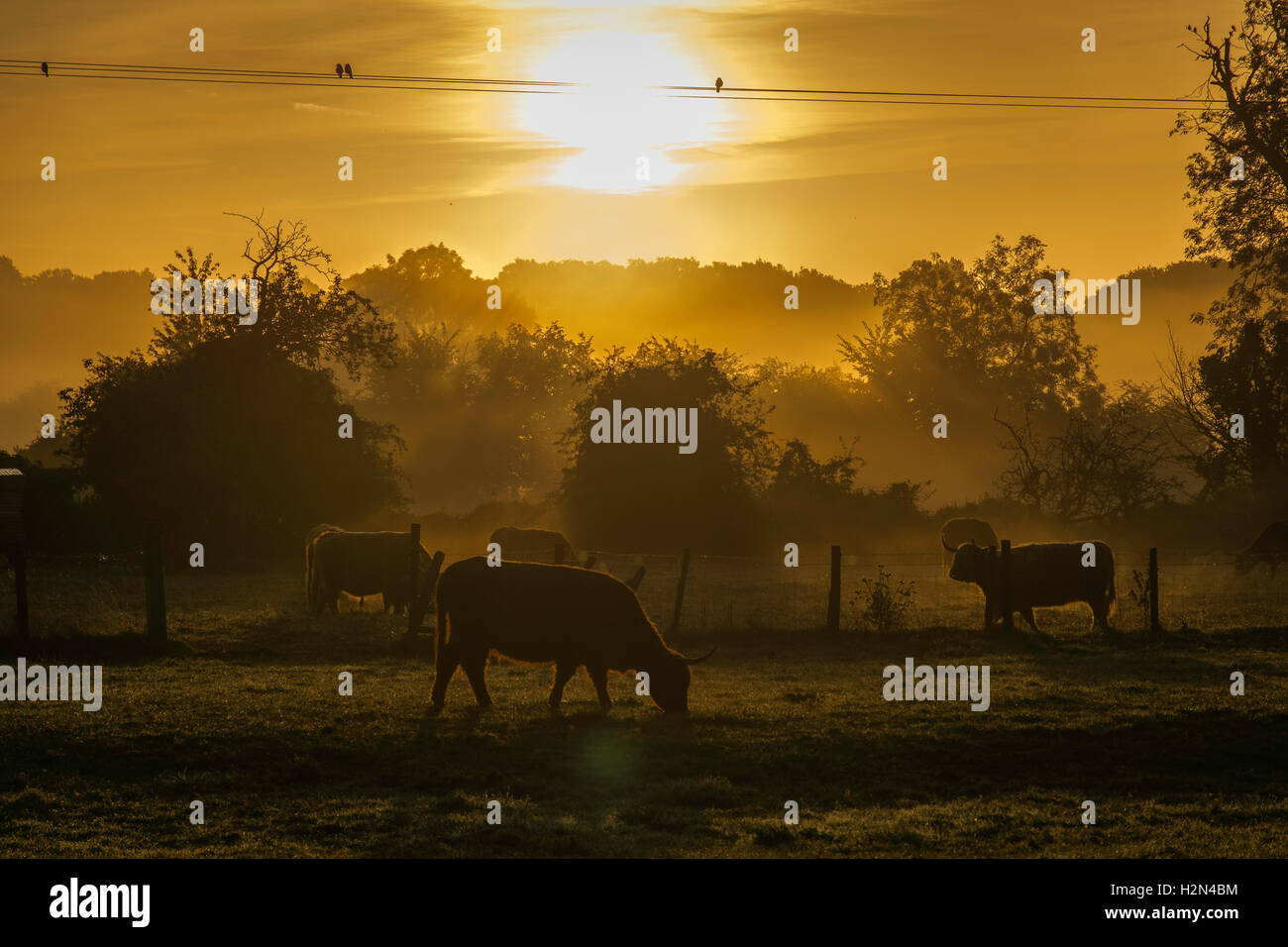 cattle grazing at sunrise Stock Photo