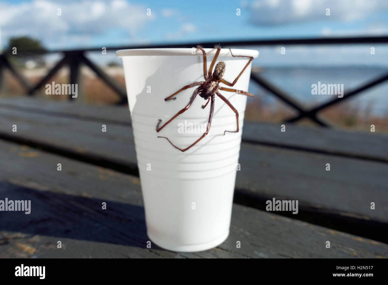 A giant house spider, Eratigena atrica, warming in the sun on a paper cup. What a Coffee Mate. Keeps your house - Stock Image