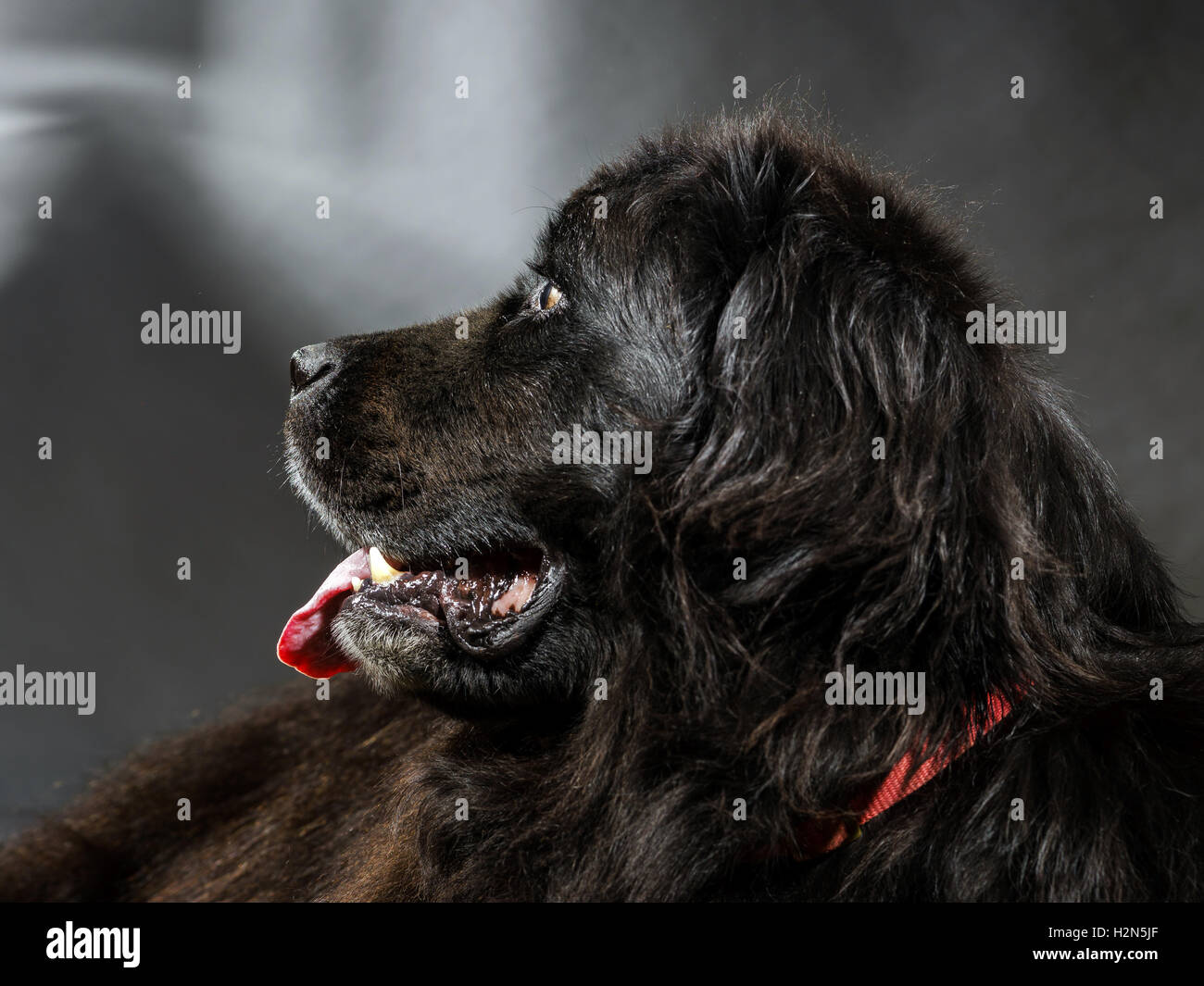 Portrait of big black water-dog, studio shooting, isolated on dark background - Stock Image