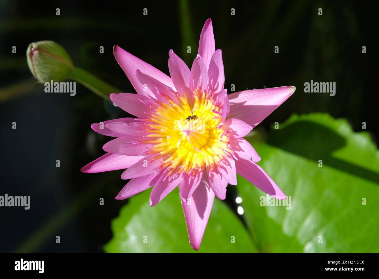 Beautiful lotus flower on the sun with bee at koh samui stock photo beautiful lotus flower on the sun with bee at koh samui izmirmasajfo Images