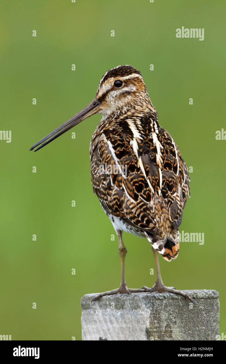 Common Snipe Gallinago gallinago Perched on a fence - Stock Image