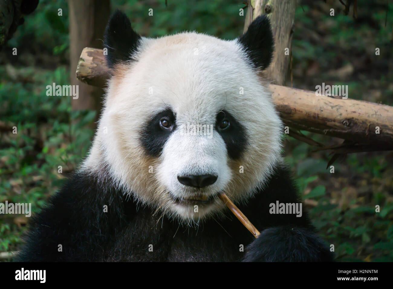 Giant panda eating panda - Stock Image