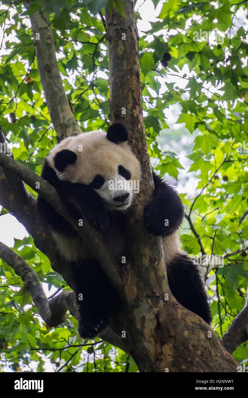 Giant panda sleeping in a tree - Stock Image