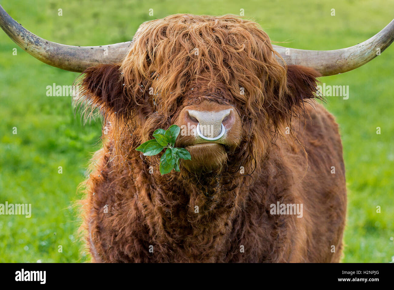 Unfiltered version of leaves chewing highland cattle bull with iron nose ring on a green meadow. - Stock Image