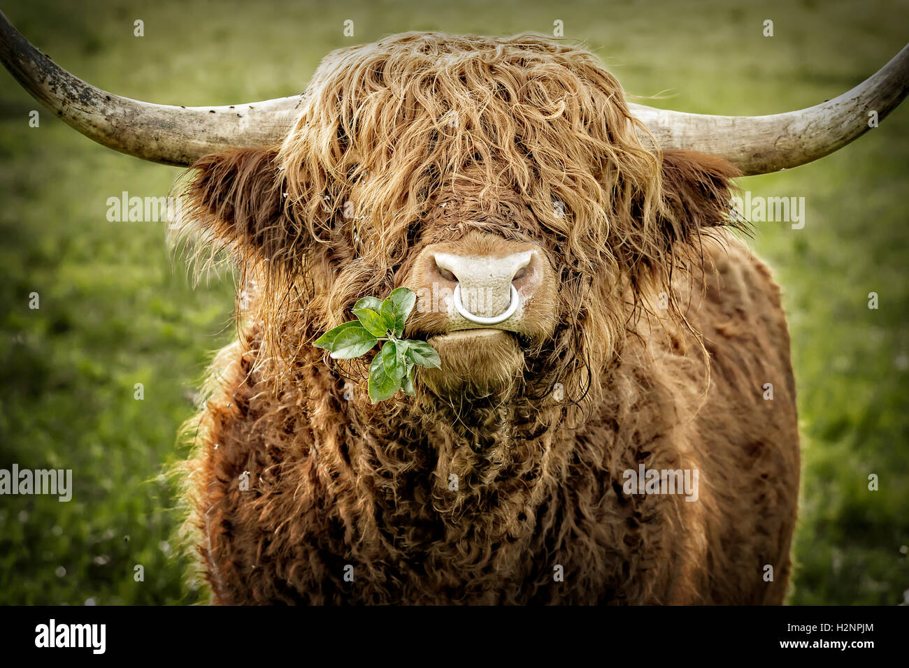 Close up of leaves chewing highland cattle bull with iron nose ring. - Stock Image