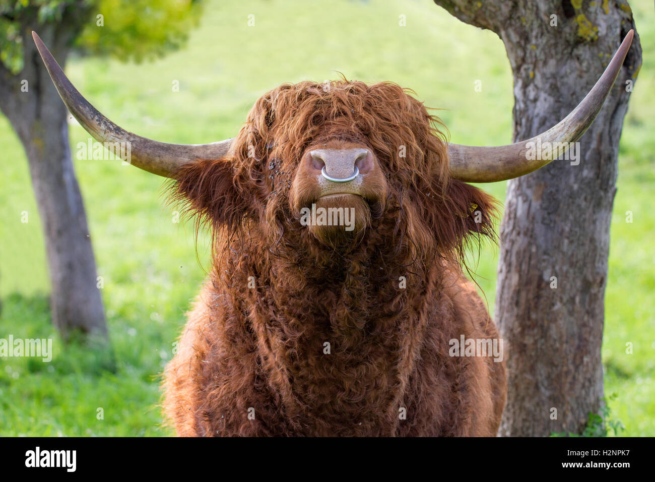 Close up of leaves  highland cattle bull with iron nose ring. - Stock Image