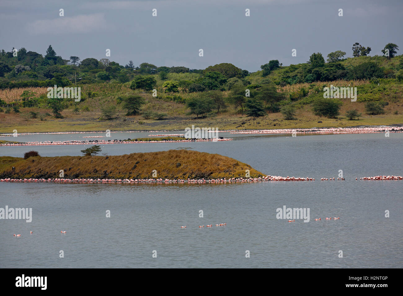 Big Momella Lake, lesser flamingos (Phoeniconaias minor), pink flamingos (Phoenicopterus roseus), Arusha National Stock Photo