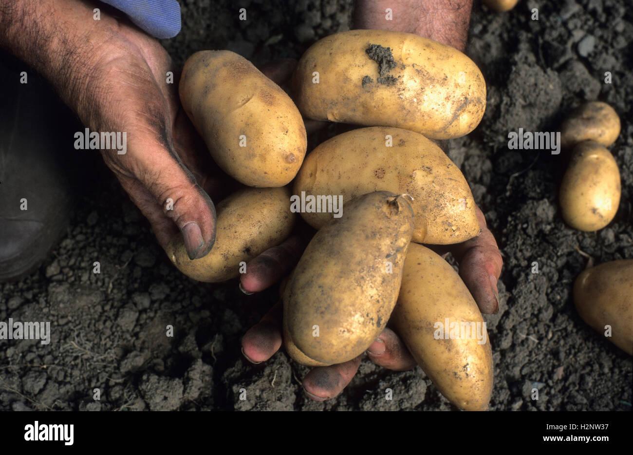 Dirty hands of gardener holding potatoes Stock Photo: 122182571 - Alamy