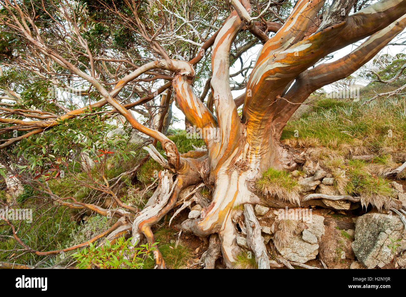 Colourful Snow Gum in the Australian Alps. - Stock Image