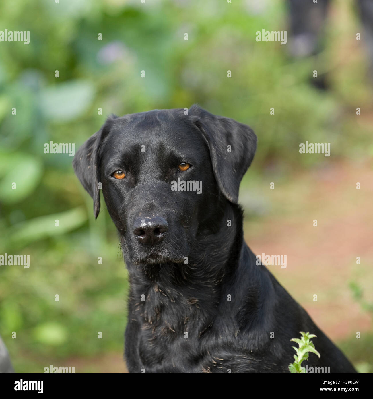 black labrador retriever - Stock Image