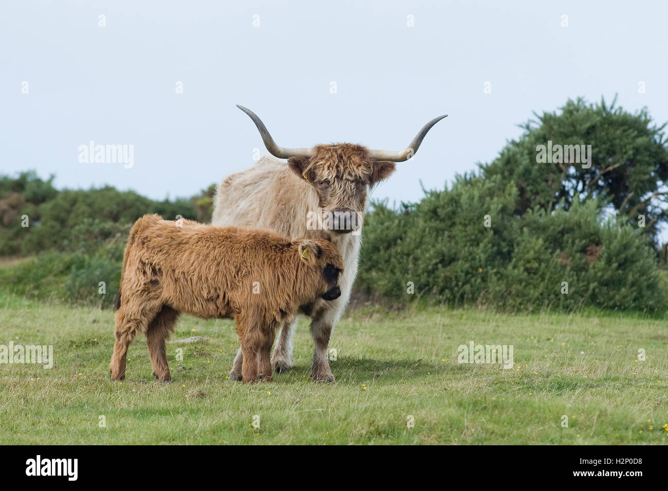 highland cow and calf - Stock Image