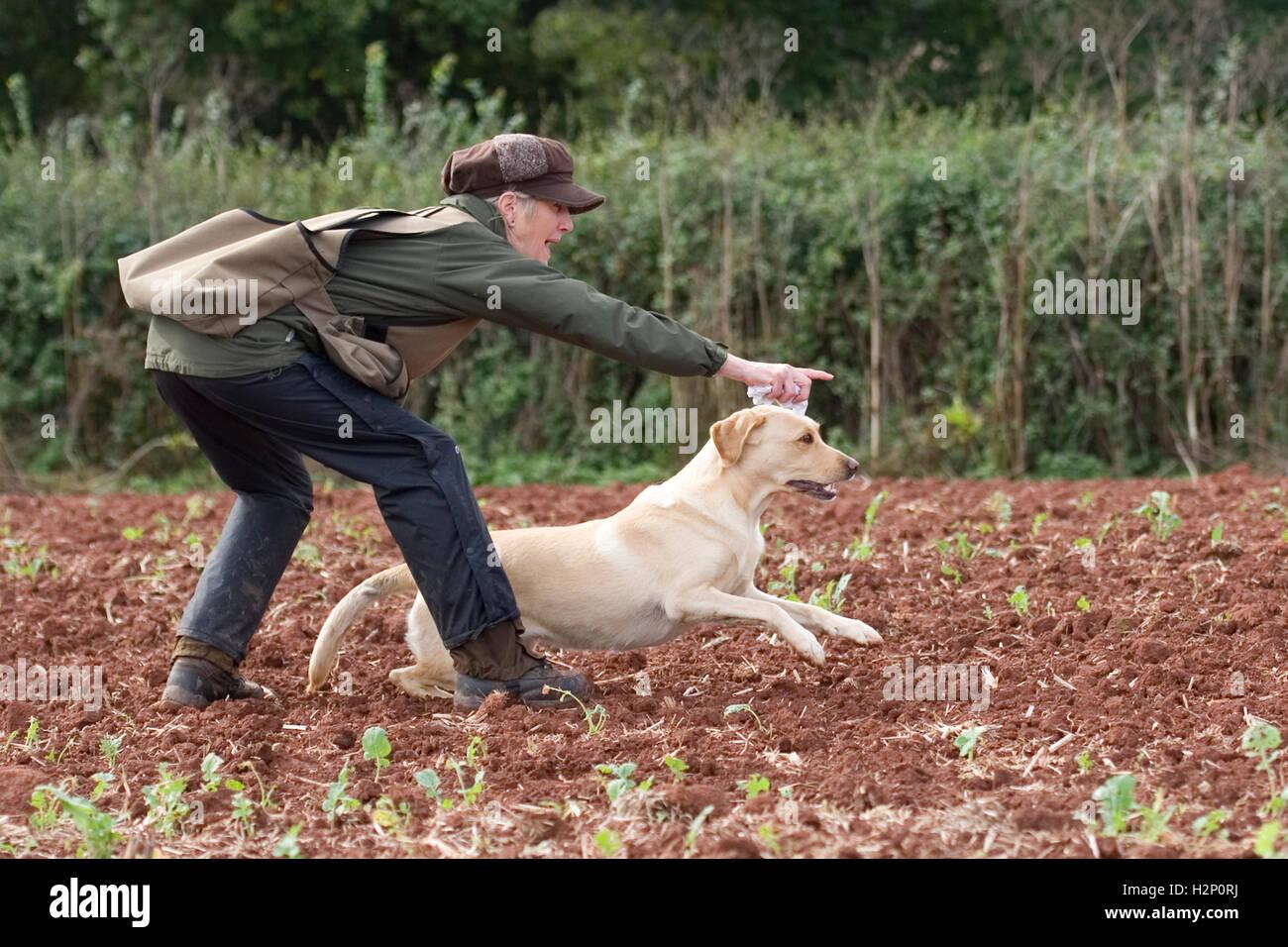 labrador retriever being trained - Stock Image