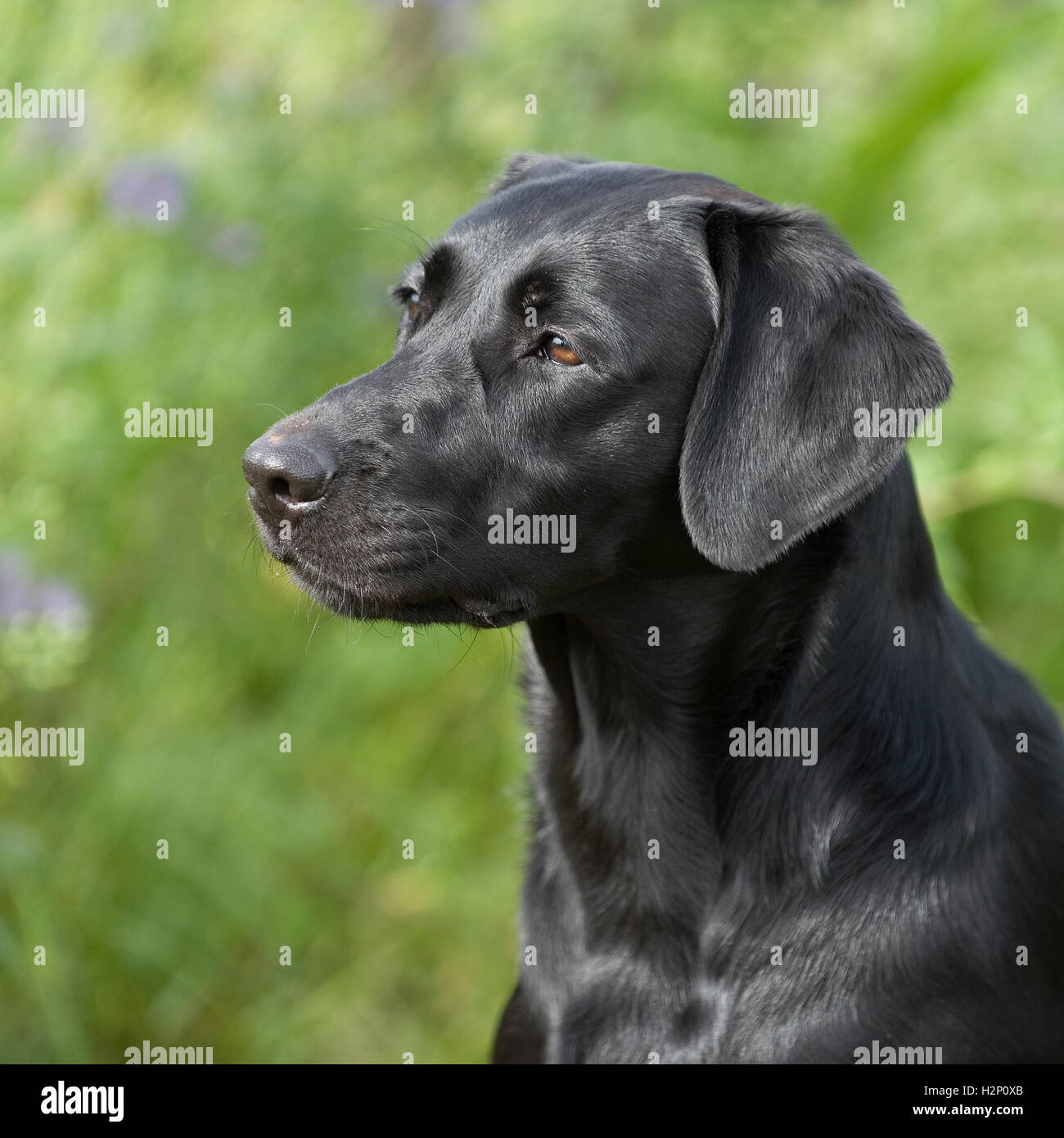 black labrador retriever dog - Stock Image