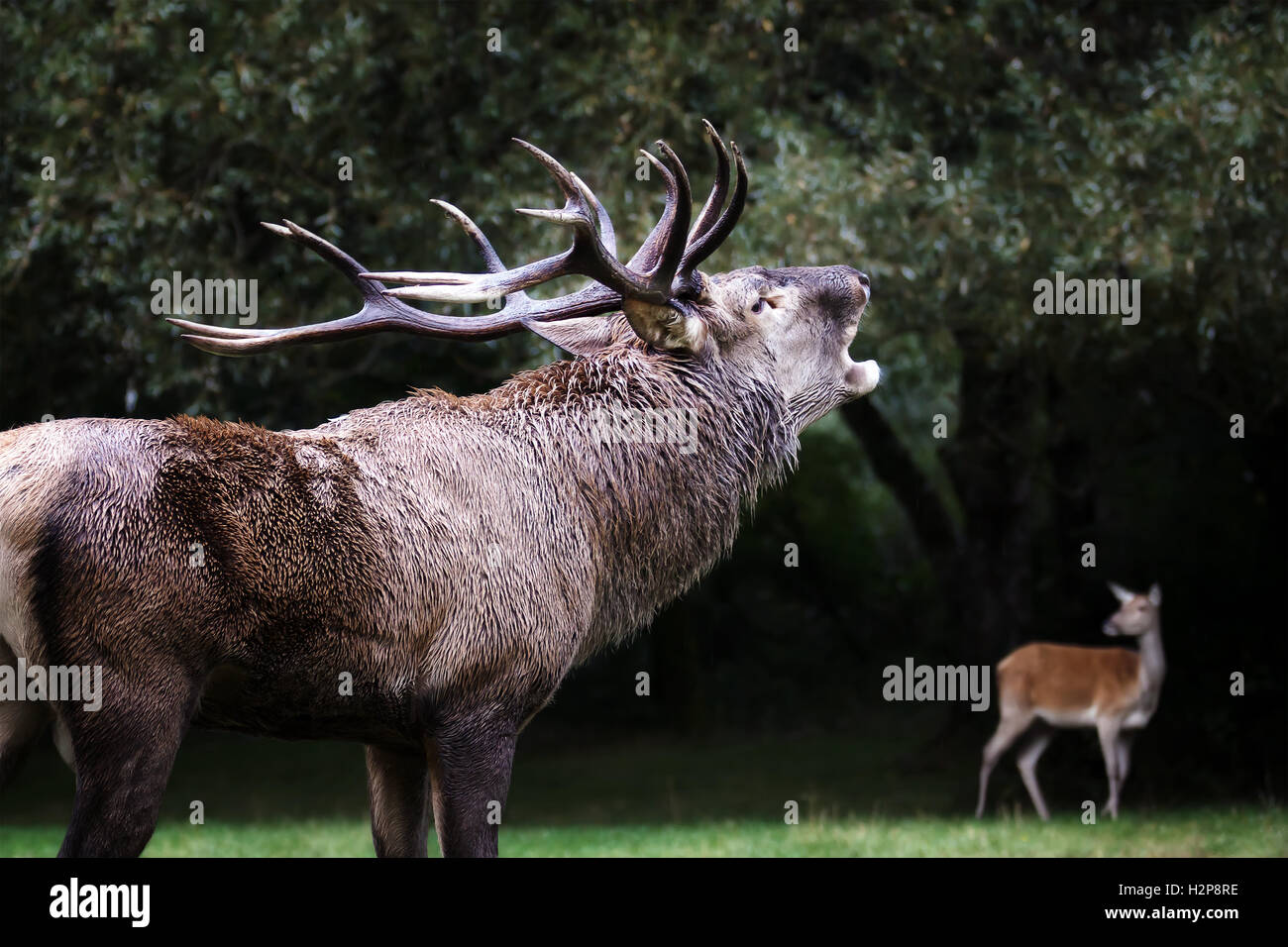 A male deer in the foreground with its mighty horns. With the mouth emits the classic roar in the mating season. - Stock Image