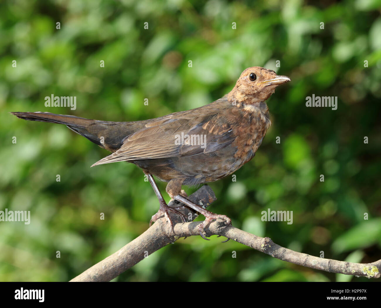 Close up of a young blackbird - Stock Image