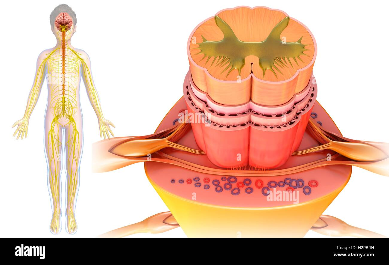 Illustration Of A Spinal Cord Cross Section Stock Photo 122194117