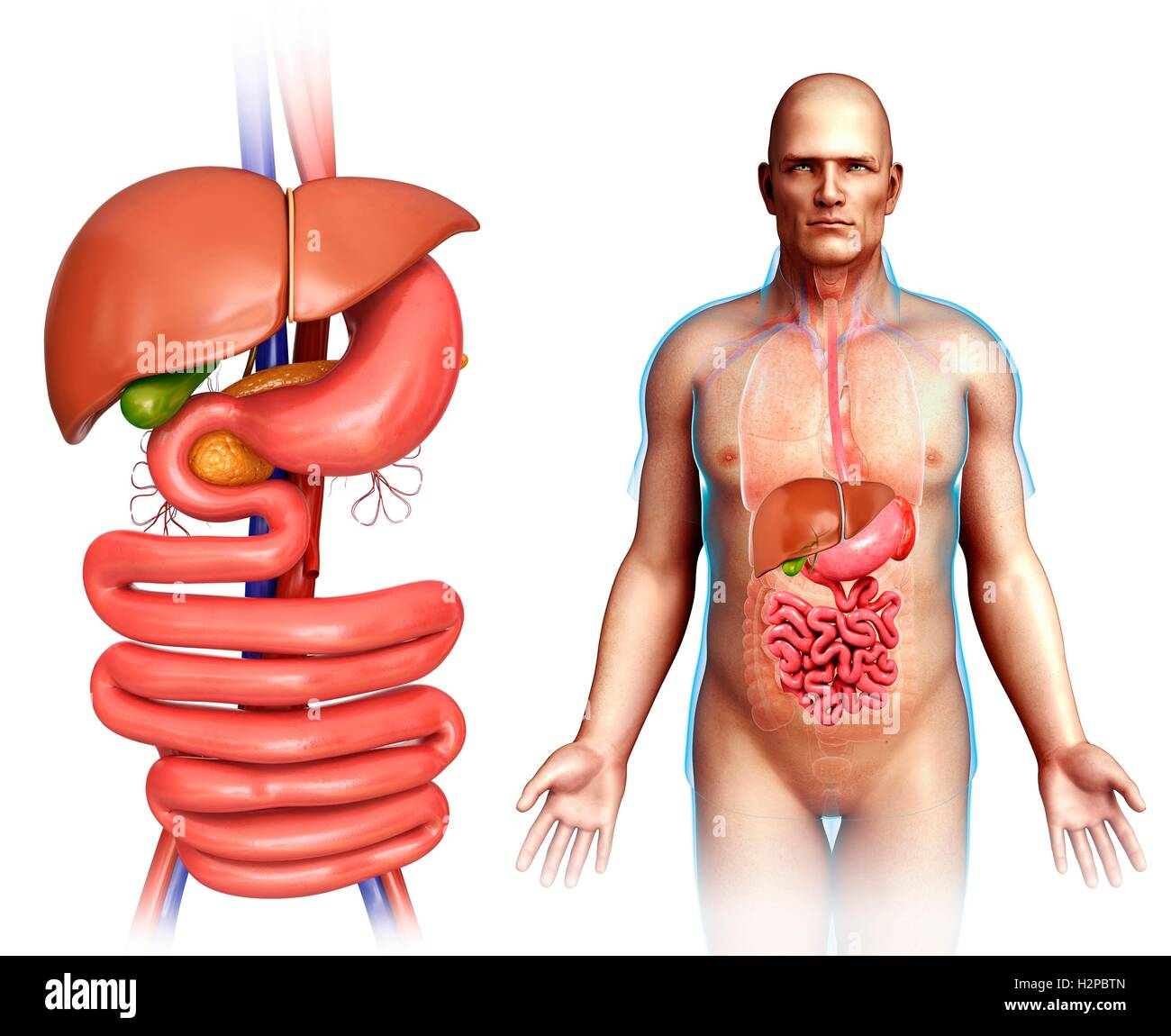 Male Digestive System Cut Out Stock Images & Pictures - Alamy