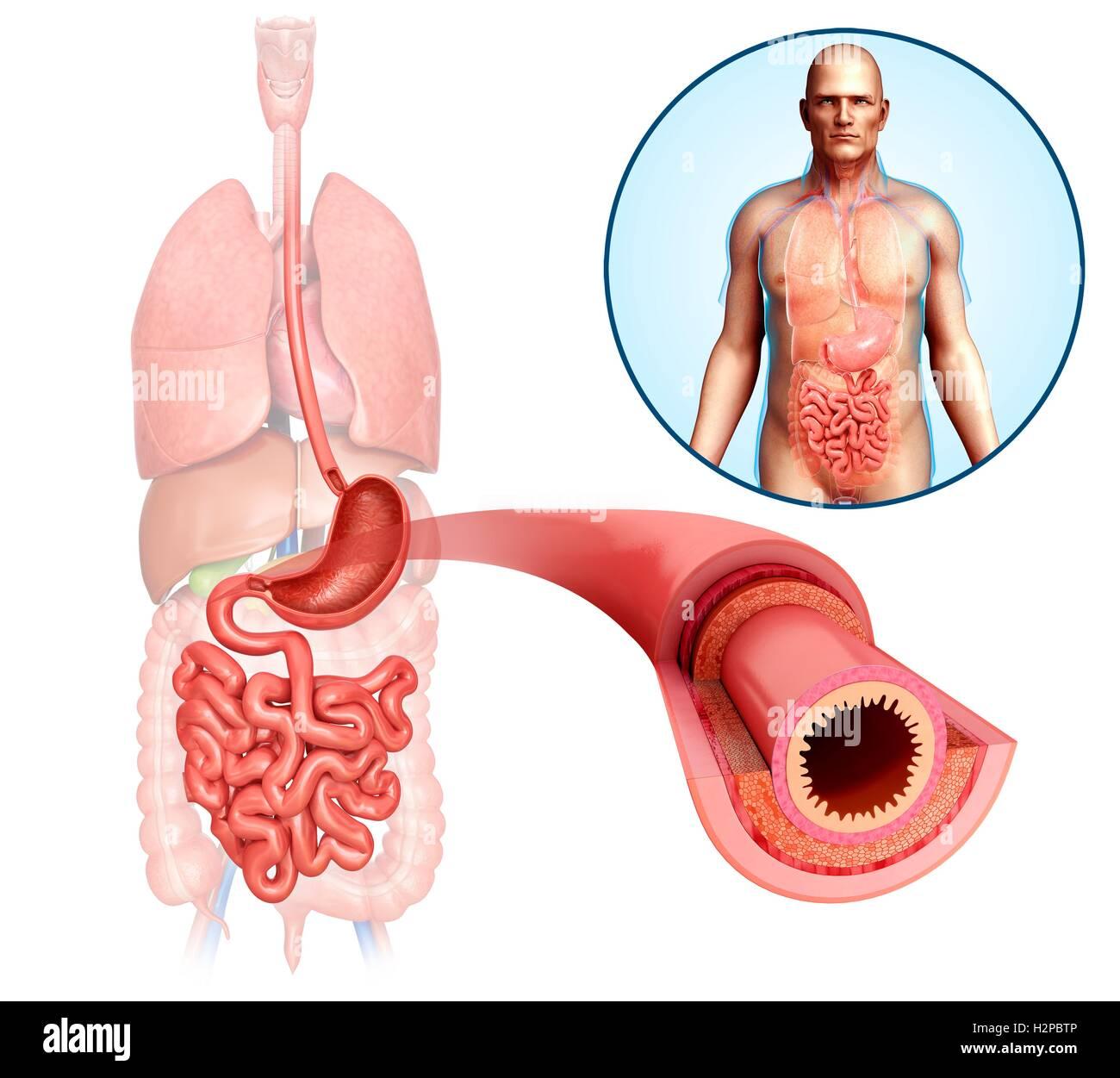 Illustration of male small intestine anatomical layers. - Stock Image