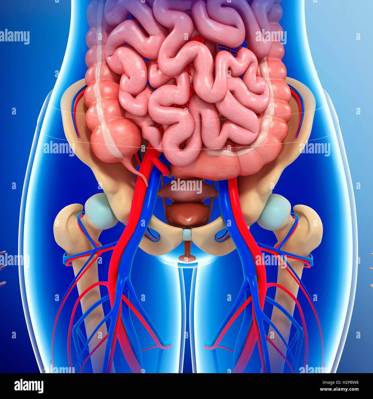 What are the pelvic organs. Pathologies of these organs