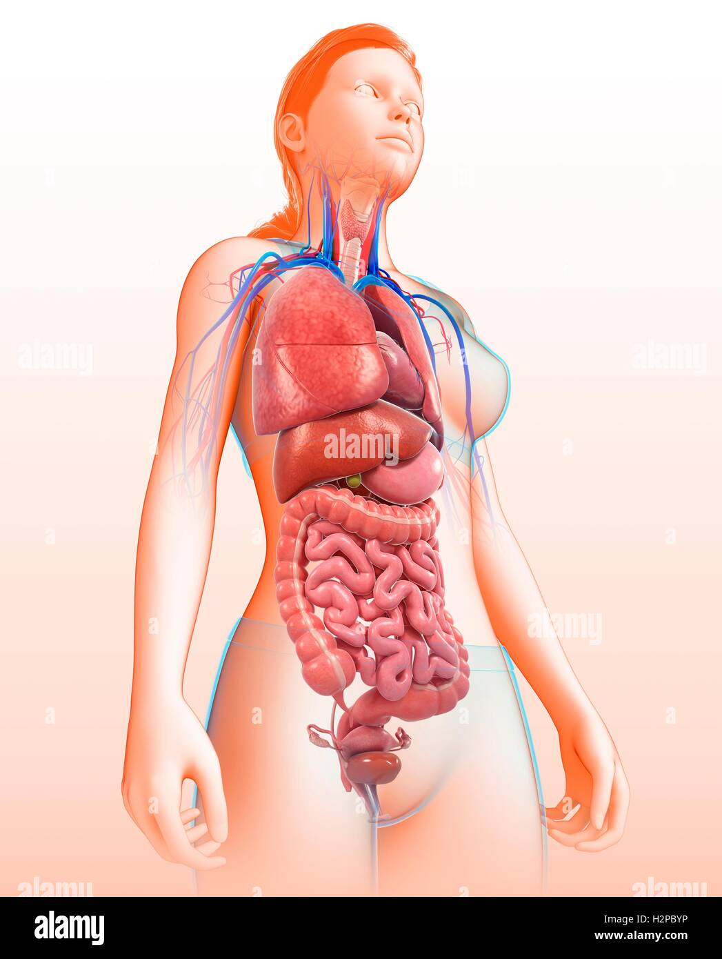 Illustration of female body organs Stock Photo: 122194234 - Alamy
