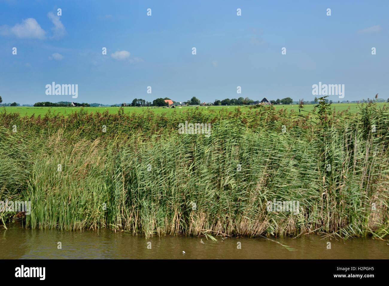 Canal Reed Green Grass Landscape Friesland Fryslan Netherlands - Stock Image
