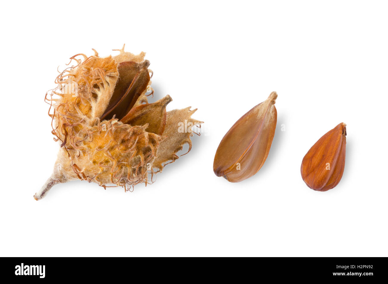 European beechnuts on white background, also called mast. Burr and cupule with seeds, nut and a shelled nut of EuropeanStock Photo