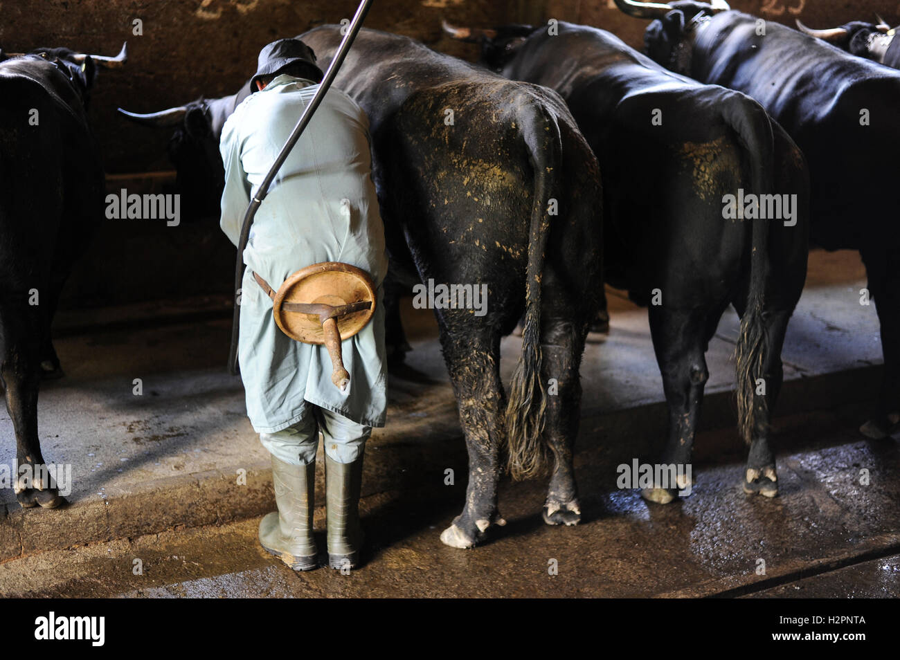 SWITZERLAND Kanton Wallis agriculture in the mountains, Erringer cows in milking stable of Philippe Frossard, the - Stock Image
