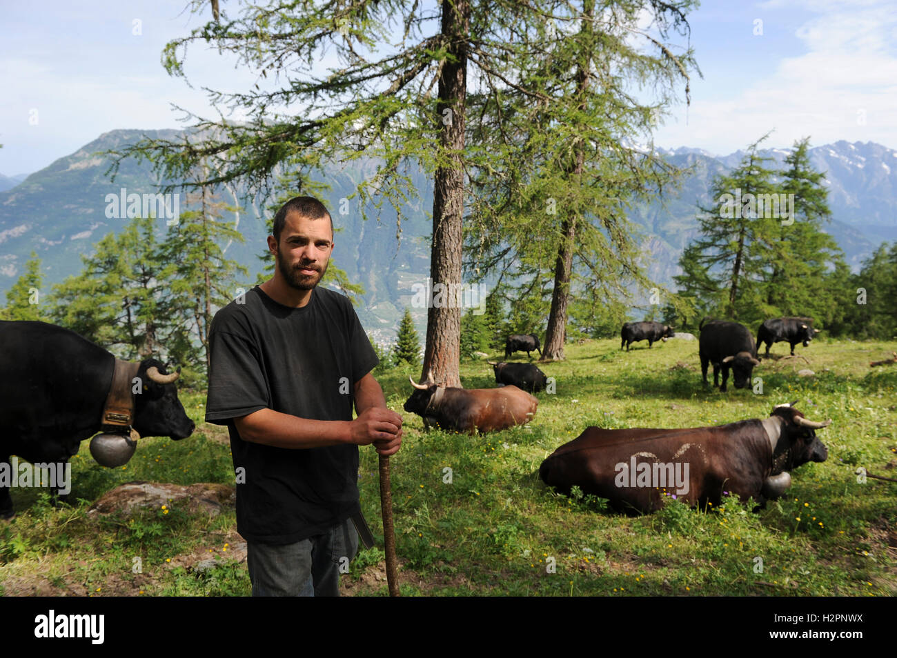 SWITZERLAND Kanton Wallis, agriculture in the mountains, grazing Erringer milk cows, the milk is the base of Raclette - Stock Image