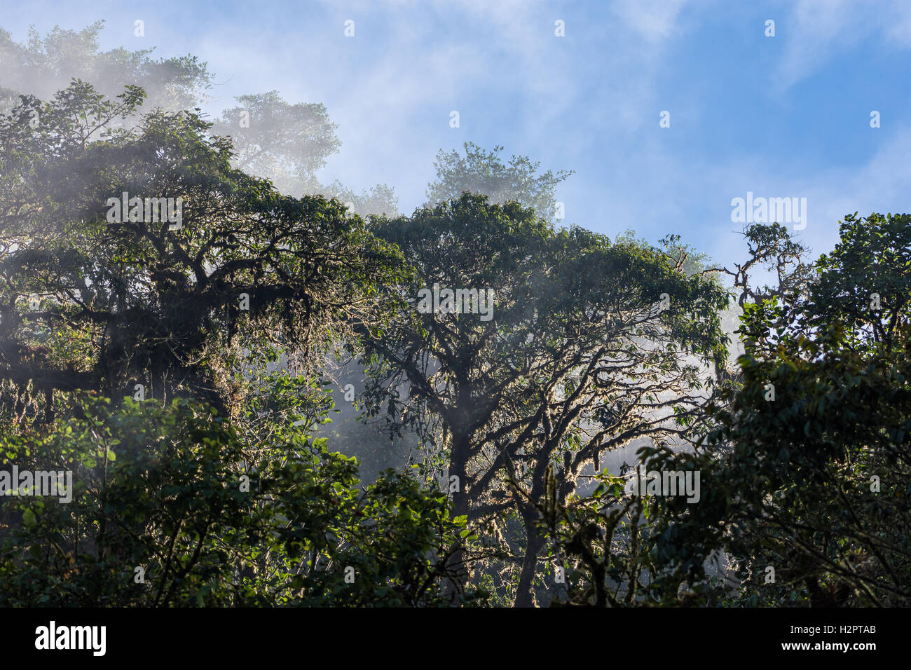 Water vapor rises over forest canopy in the Andes cloud forest. Ecuador, South America. - Stock Image