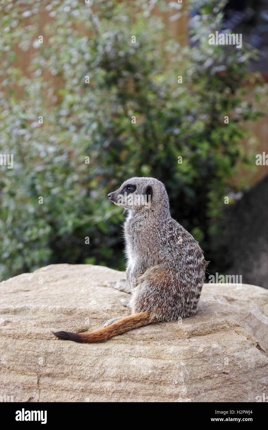 Meercat on sentry duty. - Stock Image