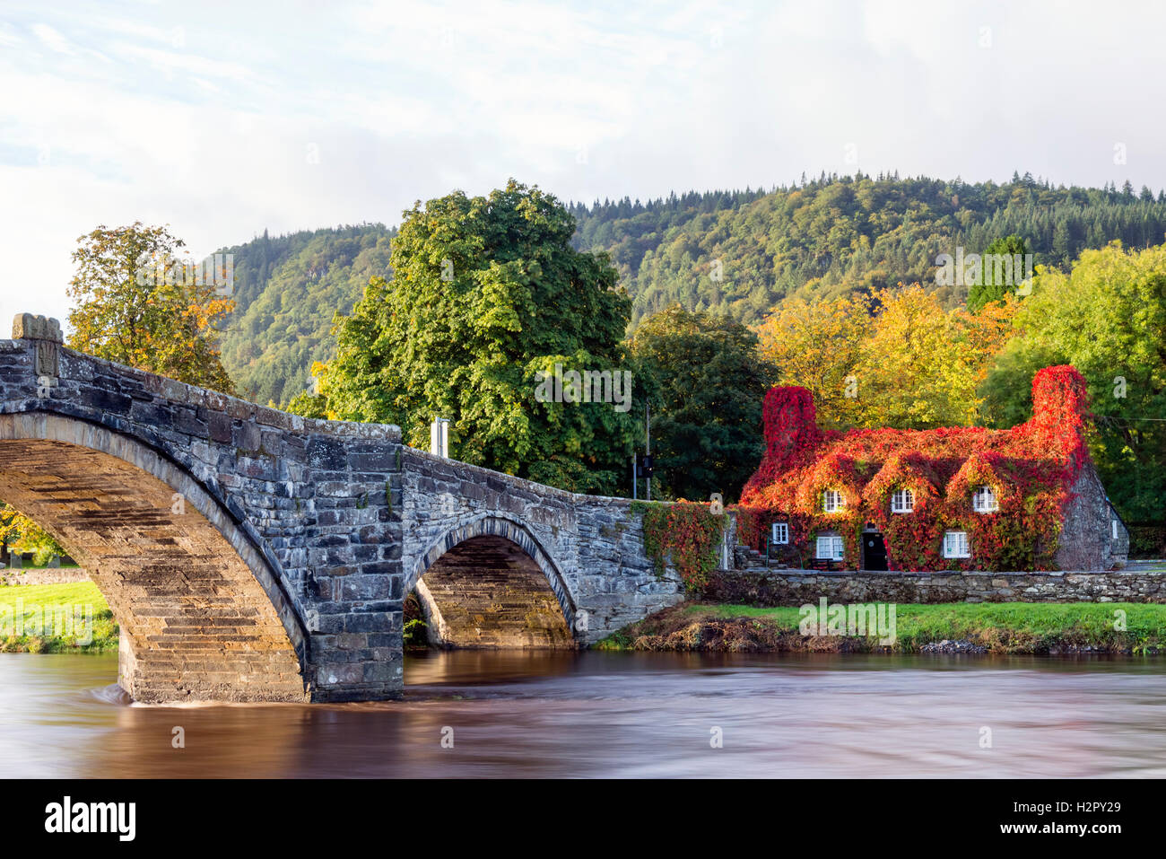 Virginia creeper / ivy showing autumn colour covering Llanrwst tearooms, Wales, UK. - Stock Image